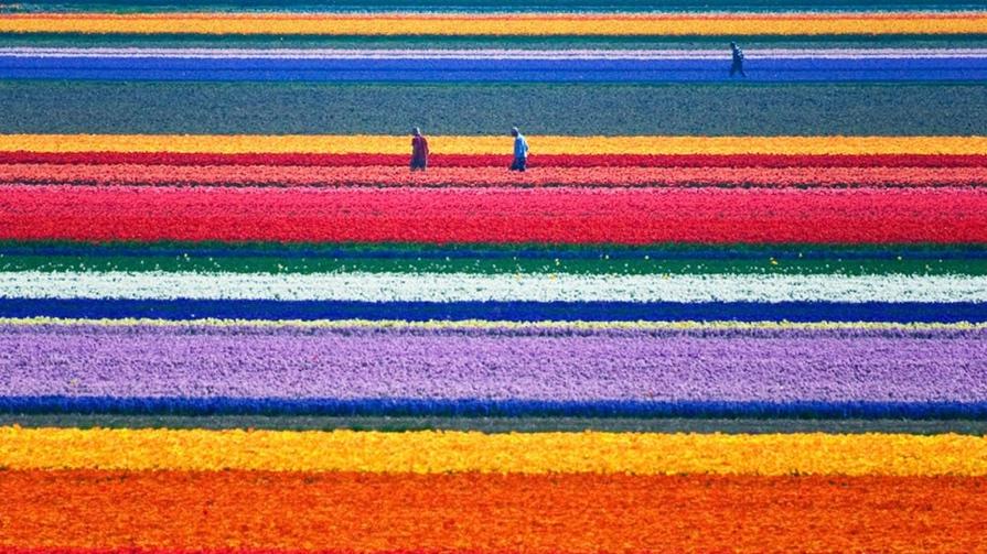 ჰოლანდიური ყვავილები